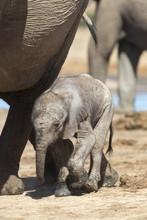 Elephants (Loxodonta Africana)...