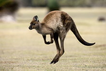 Kangaroo Island Grey Kangaroo (Macropus Fuliginosus), Kelly Hill Conservation, Kangaroo Island, South Australia