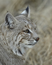 Bobcat (Lynx Rufus), Living Desert Zoo And Gardens State Park, New Mexico
