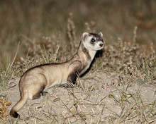 Black-footed Ferret (American Polecat) (Mustela Nigripes) With A Hair-dye Marker To Indicate That It Was Treated By The Wildlife Biologist, Buffalo Gap National Grassland, Conata Basin, South Dakota