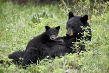 Black Bear (Ursus Americanus) Sow Nursing A Spring Cub, Yellowstone National Park, Wyoming