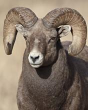 Bighorn Sheep (Ovis Canadensis) Ram, Clear Creek County, Colorado