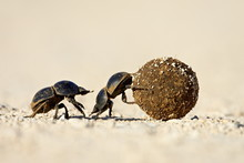 Two Dung Beetles Rolling A Dun...