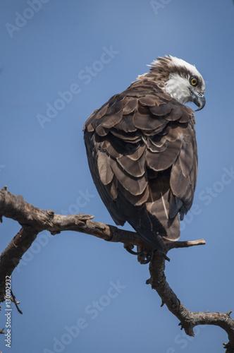 Photo  Osprey, American River near Sacramento