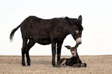 Wild Burro (donkey) (Equus Asinus) (Equus Africanus Asinus) Jenny Biting Its Foal's Ear, Custer State Park, South Dakota