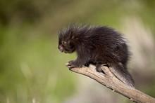 A Captive Baby Porcupine (Eret...