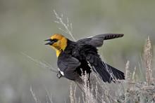 Male Yellow-headed Blackbird (Xanthocephalus Xanthocephalus) Dislaying, Yellowstone National Park, Wyoming