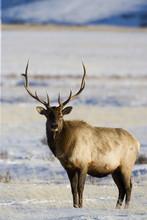 Bull Elk (Cervus Canadensis) I...