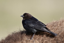 Brown-headed Cowbird (Molothrus Ater), Yellowstone National Park, Wyoming