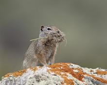 Uinta Ground Squirrel (Urocitellus Armatus) With Nesting Material, Yellowstone National Park, Wyoming