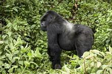 Silverback Mountain Gorilla (Gorilla Gorilla Beringei) Standing In Profile, Shinda Group, Volcanoes National Park, Rwanda
