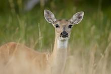Whitetail Deer (Odocoileus Virginianus) Doe, Stillwater County, Montana