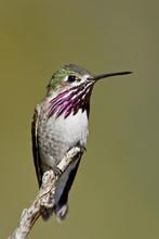 Calliope Hummingbird (Stellula...
