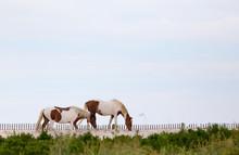 Wild Horses Of Assateague Isla...