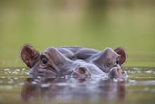 Hippopotamus (Hippopotamus Amphibius), Kruger National Park