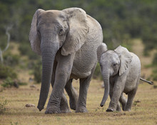 African Elephant (Loxodonta Africana) Adult And Young, Addo Elephant National Park