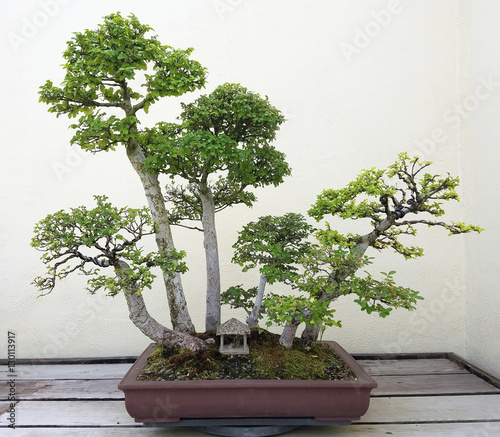 Bonsai and Penjing landscape with miniature ficus trees in a tray