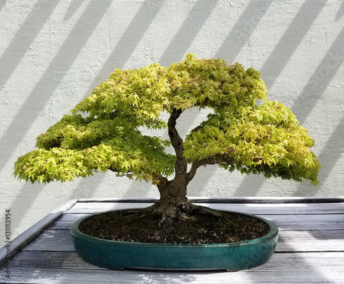 Bonsai and Penjing landscape with miniature deciduous maple tree in a tray