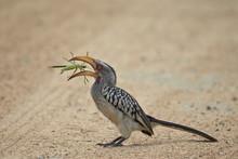 Southern Yellow-billed Hornbil...