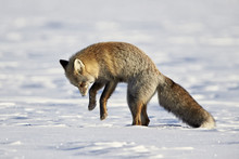 Cross Fox, Red Fox (Vulpes Vulpes) (Vulpes Fulva) Pouncing On Prey In The Snow, Grand Teton National Park, Wyoming