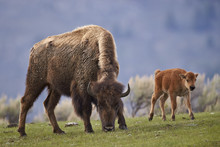 Bison (Bison Bison) Cow And Calf In The Spring, Yellowstone National Park, Wyoming