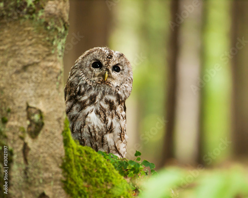 Strix aluco -portrait of Brown owl in forest
