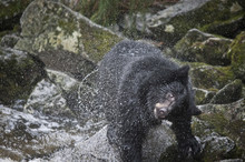 Black Bear Shakes Off Water, A...