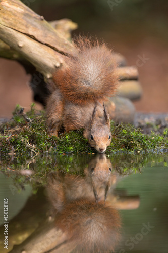 Wall Murals Squirrel Red Squirrel