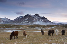 Icelandic Horses In Fjardara Valley, Borgarfjorur Eystri Fjord, Near Bakkagerdi, Mount Stadarfjall Behind, East Fjords Area, Iceland