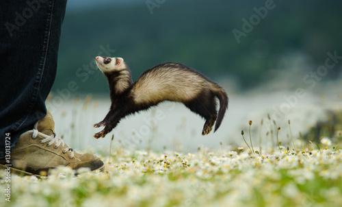 Fotografering  Ferret jumping up at humans foot