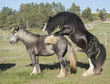 Gypsy Vanner Horse Stallion Pasture Breeding Mare