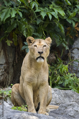 Cadres-photo bureau Puma Image of a female lion on nature background.