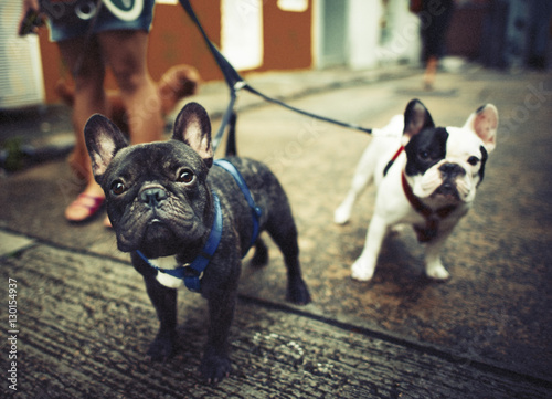 Foto  French Bulldog Take a Walk Lovely Pet Animal Concept
