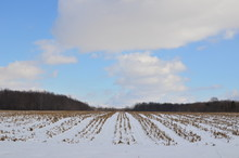 Rows Of A Snow Covered Corn Fi...
