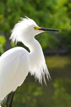 Snowy Egret (Egretta Thula), Everglades, Florida