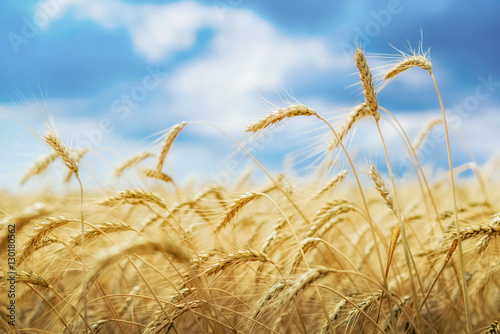 Poster Ripe wheat and blue sky