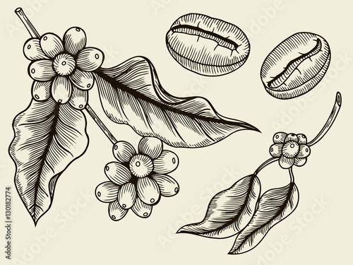 Coffee Plant Branch With Leaf Berry Coffee Bean Fruit Seed