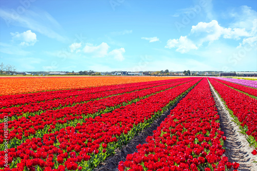 Tuinposter Rood Blossoming tulip fields in a dutch landscape in the Netherlands