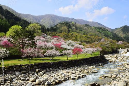 Fotografie, Obraz  花桃の里 長野県にある花桃の里