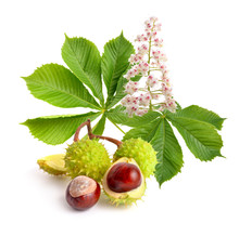 Horse-chestnut (Aesculus) Fruits With Leawes And Flower.