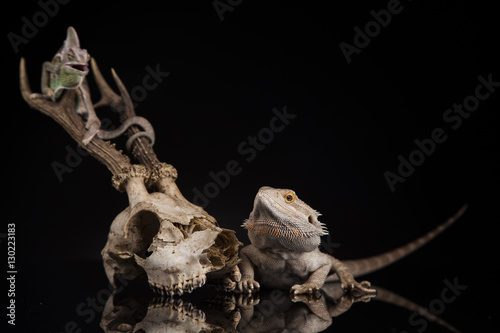 Poster Chamaleon Kameleon na porożu z agamą brodatą u boku