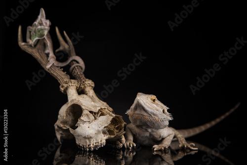 Poster Chamaleon Agama brodata i kameleon na porożu