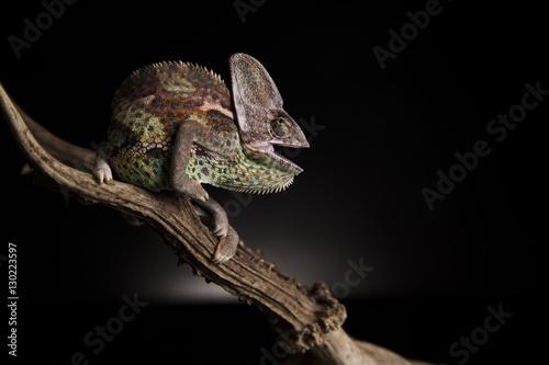 Poster Chamaleon Wojowniczy kameleon
