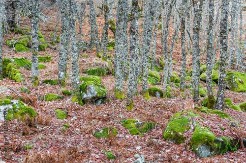 Robledal, rocas con musgo y hojas secas. Quercus. Bosque El Tejedelo. Requejo de Sanabria, Zamora, España. © LFRabanedo
