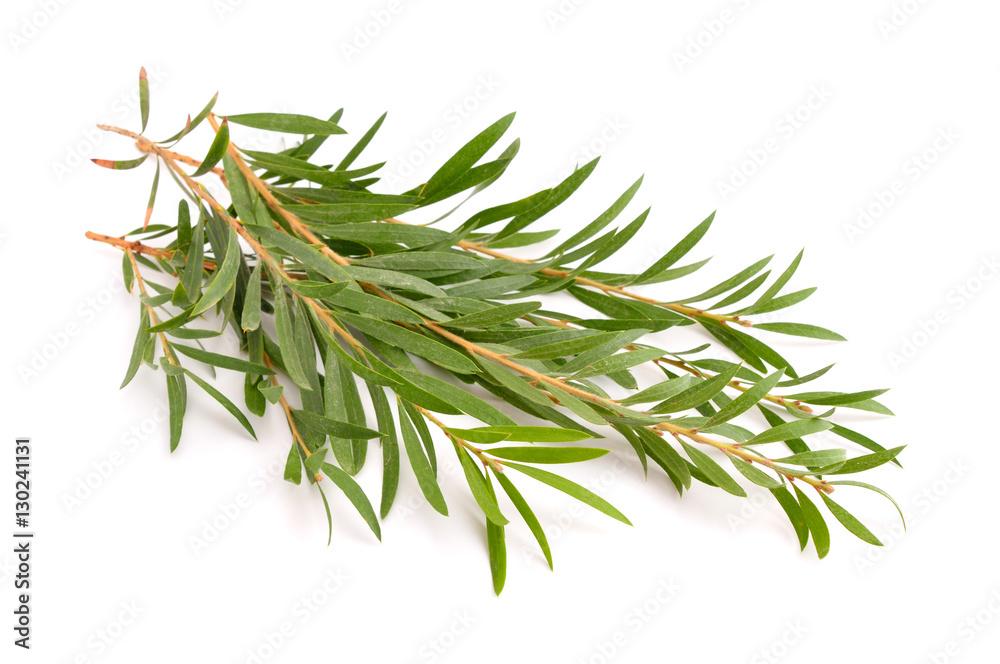 Fototapety, obrazy: Melaleuca twigs.