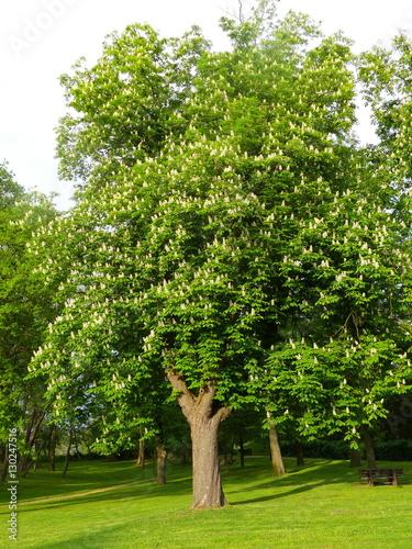 wonderful strong chestnut tree