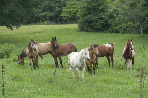 Fotografie, Obraz  Horse herd with mixed breeds in lusg grass