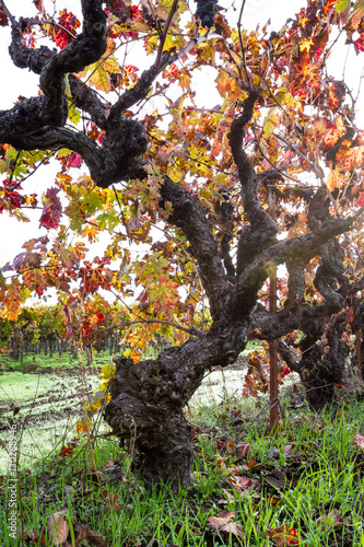 Fotografie, Obraz  gnarly old grape vine