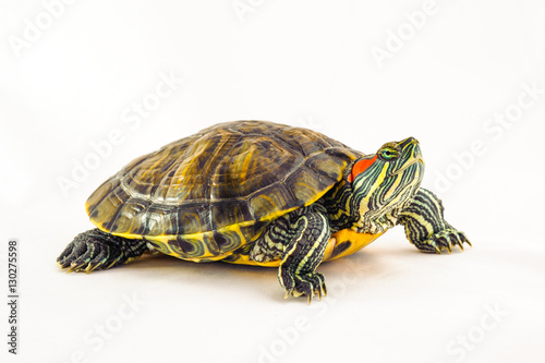 Poster Tortue one Pond slider isolated on the white background.closeup.