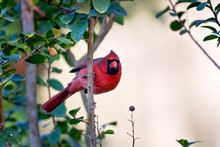 Northern Cardinal Hanging On A...